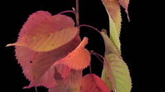 Time-lapse of drying Tree leaves in RGB + ALPHA matte (720p) - stock footage