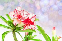 Impala Lily or desert rose or Mock Azalea Stock Photos
