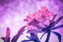 Impala Lily or desert rose or Mock Azalea - stock photo