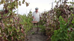 Old farmer walking in organic vineyard with a basket full of red grapes Stock Footage