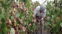 Vintner tasting ripe grapes, eating, harvest, inspecting, grower, vineyard - stock footage