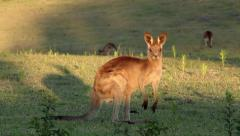 Young curious kangaroo looks into the afternoon light - stock footage