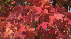 Stock Video Footage of Fall colors in early autumn with orange leaves on the trees