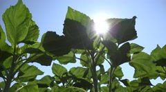 4K Sunflowers Field Unripe Agriculture Cultivated Farm Countryside Vegetables - stock footage