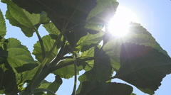 Sunflowers Field Unripe Agriculture Cultivated Farm Countryside Vegetables Stock Footage