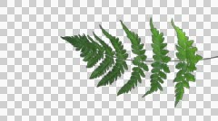 Time-lapse of drying Fern leaves with ALPHA, vertical - stock footage