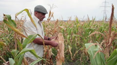 Farmer assess damage, corn field, harvest, crop, corn cob, looking at camera Stock Footage