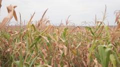 Severe drought, corn field, dry stalk, lost harvest, farm, damage Stock Footage