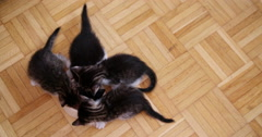 Four kittens eating from a bowl together on wooden floor Stock Footage