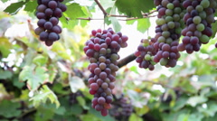 Heavy bunch of grapes hanging on vine, grape arbor, pergola, patio Stock Footage