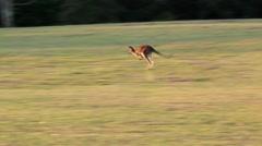 Kangaroo hopping across a field Stock Footage