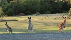 Three kangaroos stand on a grassy hill Stock Footage