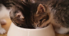 Kittens eating food together from one bowl Stock Footage