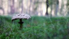 A parasol mushroom Stock Footage