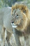 Male lion (Panthera leo), Etosha National Park, Namibia, Africa - stock photo