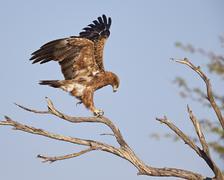 Tawny eagle (Aquila rapax), Kgalagadi Transfrontier Park, encompassing the - stock photo