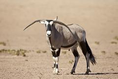 Gemsbok (South African oryx) (Oryx gazella) male with deformed horns, Kgalagadi - stock photo