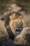 Lion (Panthera leo), Kgalagadi Transfrontier Park, encompassing the former - stock photo