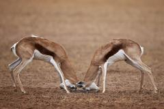 Two Springbok (Antidorcas marsupialis) bucks fighting, Kgalagadi Transfrontier Stock Photos