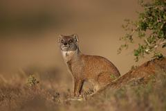 Yellow mongoose (Cynictis penicillata), Addo Elephant National Park, South - stock photo