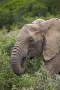 African elephant (Loxodonta africana) eating, Addo Elephant National Park, South - stock photo