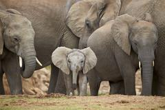 African elephant (Loxodonta africana) group with baby, Addo Elephant National - stock photo
