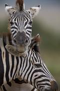 Common Zebra (Plains Zebra) (Burchell's Zebra) (Equus burchelli), Addo Elephant Stock Photos