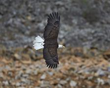 Bald eagle (Haliaeetus leucocephalus) in flight, Yellowstone National Park, Stock Photos