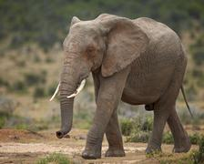 African elephant (Loxodonta africana), Addo Elephant National Park, South - stock photo