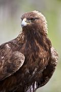 Golden eagle (Aquila chrysaetos), Yellowstone National Park, Wyoming, United - stock photo