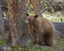 Cinnamon black bear (Ursus americanus) yearling cub, Yellowstone National Park, Stock Photos