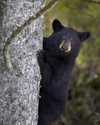 Black bear (Ursus americanus) yearling cub climbing a tree, Yellowstone National Stock Photos