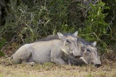 Warthog (Phacochoerus aethiopicus) piglets, Addo Elephant National Park, South - stock photo