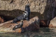 California sea lion (Zalophus californianus) bull and pup hauled out on Los - stock photo