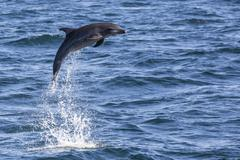 Bottlenose dolphin (Tursiops truncatus), leaping into the air near Isla San - stock photo