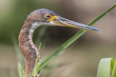 An adult tricolored heron (Egretta tricolor), head detail, San Jose del Cabo, Stock Photos