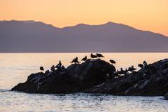 Heermann's gulls (Larus heermanni) at sunset on Isla Rasita, Baja California, - stock photo