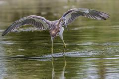 An adult tricolored heron (Egretta tricolor) stalking prey in a stream, San Jose Kuvituskuvat