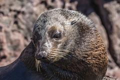 Adult male Guadalupe fur seal (Arctocephalus townsendi), hauled out on Isla San Stock Photos