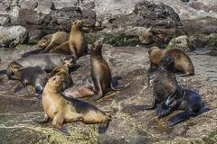 Adult male Guadalupe fur seal (Arctocephalus townsendi) amongst California sea Stock Photos