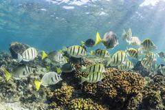A large school of convict tang (Acanthurus triostegus) on the only living reef - stock photo