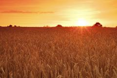 Cornfield in summer at sunset, Swabian Alps, Baden-Wurttemberg, Germany, Europe Stock Photos