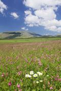 Field of wildflowers, Castelluccio di Norcia, Piano Grande, Monti Sibillini - stock photo