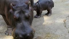 Close up of hippo eating Stock Footage