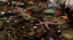 Closeup of tide pool with starfish and anenome - stock footage