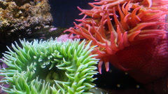 Underwater closeup of anenome Stock Footage