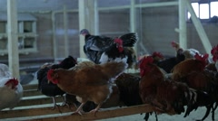 Cock and Hens Stock Footage