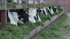 Cows eating the grass Stock Footage