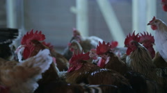 Cocks and hens on the farm Stock Footage
