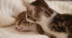Kittens huddled together sleeping on a couch with a blanket Stock Footage